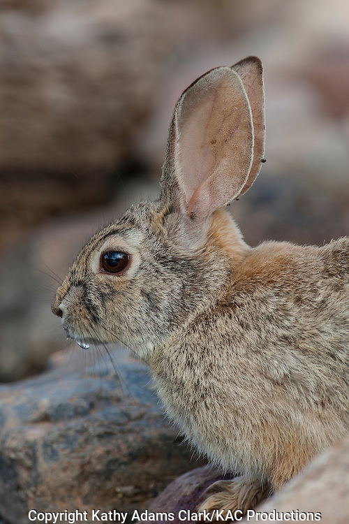 Desert cottontail, Sylvilagus audubonii, southern Arizona, in the spring.