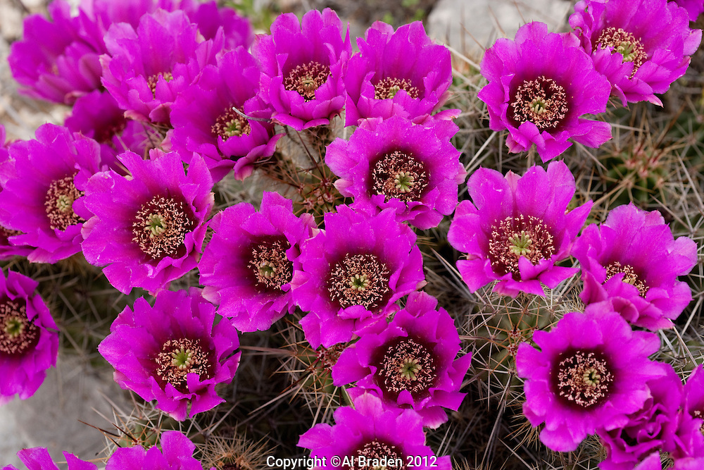 Strawberry Cactus, (Echinocereus  enneacantus var enneacanthus), Sonora, Texas