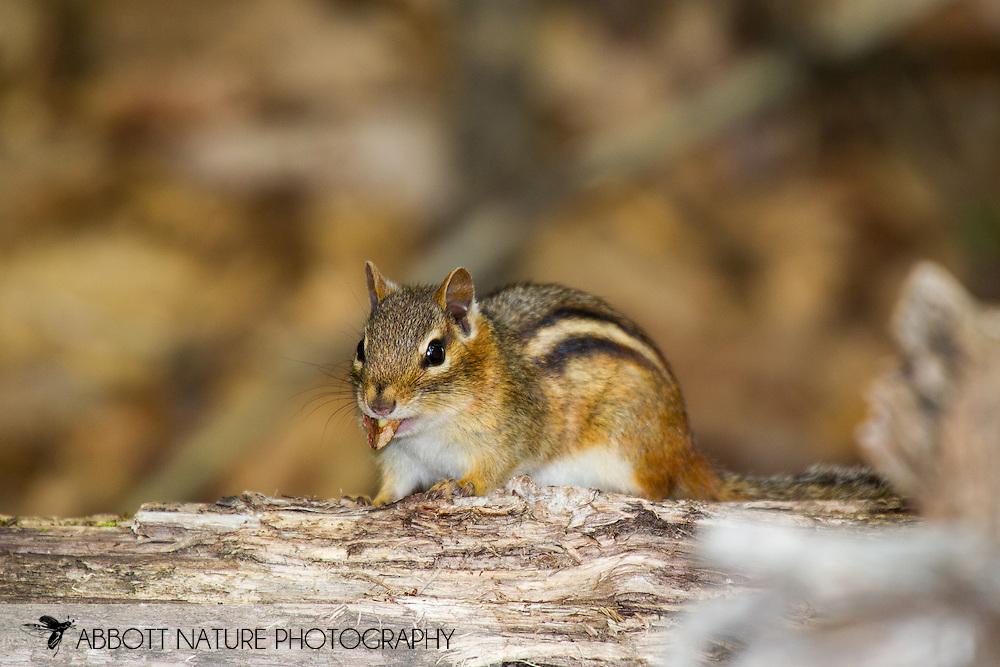 Eastern Chipmunk (Tamias striatus)<br /> WISCONSIN: Oneida Co.<br /> 8535 Bo-di lac Rd, Minoqua <br />  45.876839, -89.901170 <br /> 11-June-2014<br /> J.C. Abbott #2666 &amp; K.K. Abbott