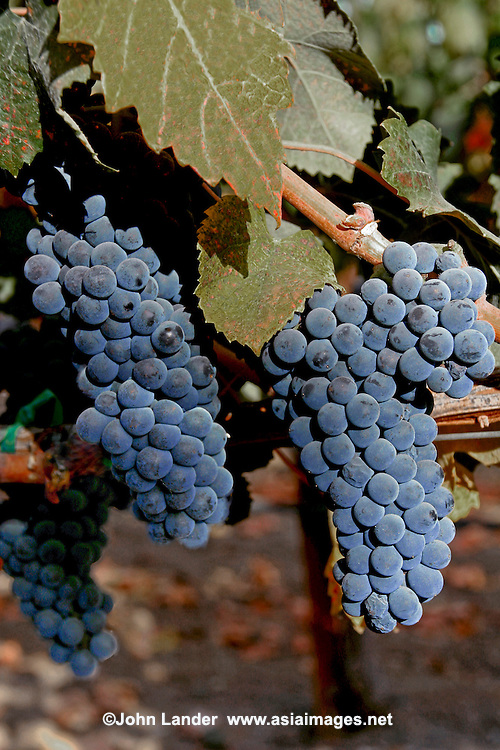 Nearly three quarters the size of France, California accounts for nearly 90 percent of the entire American wine production. The production in California alone is one third larger than that of Australia. If California were a separate country, it would be the world's fourth largest wine producer.