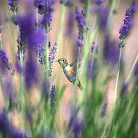 Hummingbird.Oregon.USA