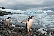 Gentoo penguins on rocky beach, Pygoscelis papua, Antarctica