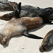 "Galápagos Sea Lions (Zalophus wollebaeki) bask on the sandy beach of Gardner Bay, a wet landing location on Española (Hood) Island, Galapagos Islands, Ecuador, South America. This mammal in the Otariidae family breeds exclusively on the Galápagos Islands and in smaller numbers on Isla de la Plata, Ecuador. Being fairly social, and one of the most numerous species in the Galápagos archipelago, they are often spotted sun-bathing on sandy shores or rock groups or gliding gracefully through the surf. They have a loud ""bark"", playful nature, and graceful agility in water. Slightly smaller than their Californian relatives, Galápagos Sea Lions range from 150 to 250 cm in length and weigh between 50 to 400 kg, with the males averaging larger than females. Sea lions have external ear-like pinnae flaps which distinguish them from their close relative with whom they are often confused, the seal. When wet, sea lions are a shade of dark brown, but once dry, their color varies greatly. The females tend to be a lighter shade than the males and the pups a chestnut brown. In 1959, Ecuador declared 97% of the land area of the Galápagos Islands to be Galápagos National Park, which UNESCO registered as a World Heritage Site in 1978. Ecuador created the Galápagos Marine Reserve in 1998, which UNESCO appended in 2001."