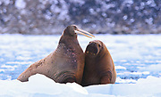 Mother and calf Walrus (Odobenus rosmarus)  Svalbard