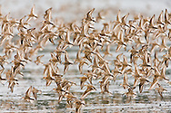 Western Sandpipers (Calidris mauri) swarm the waters of Hartney Bay near Cordova in Southcentral Alaska  during high tide to feed during their spring migration to the arctic. Evening.