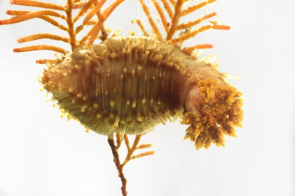 Sea Cucumber (Cucumaria frondosa) Arctic Ocean, Svalbard, Spitsbergen, Norway | Seegurken (Cucumaria frondosa) Nordatlantik / Arktischen Ozean, Spitzbergen, Norwegen