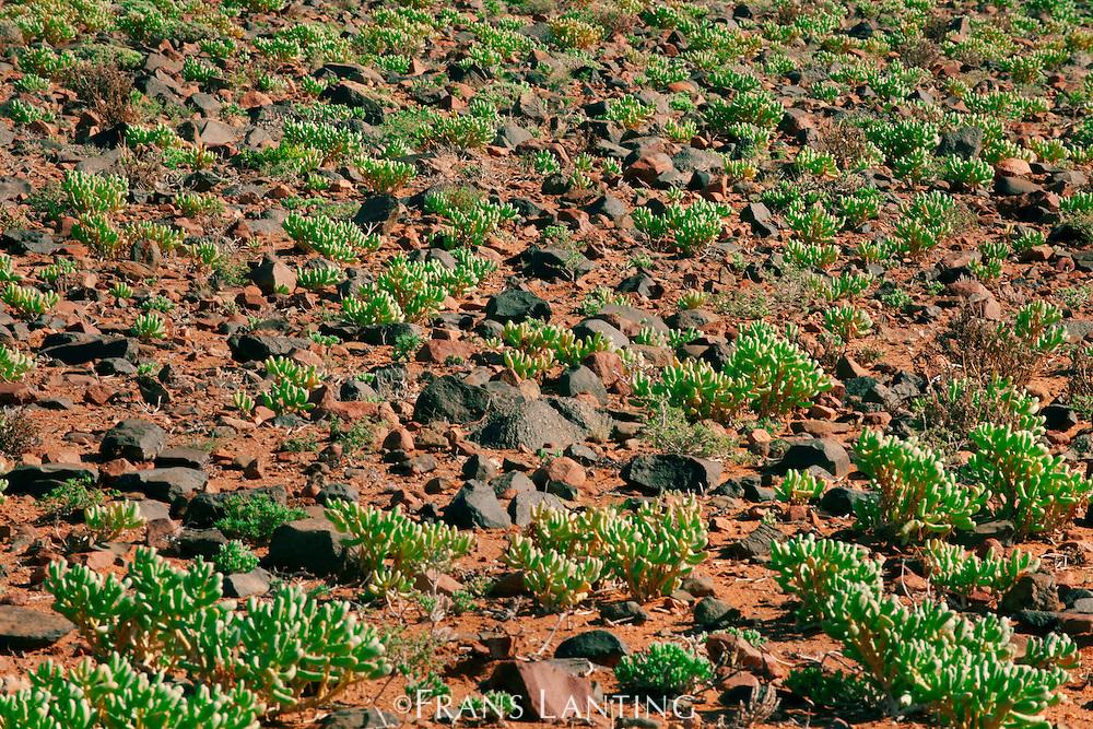 Succulent plants, Aizoaceae sp., Sperrgebiet National Park, Namibia