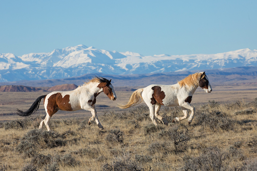 The wild stallion, Tonkawa, and his brother, Rebel gallop across the sage filled plains of McCullough Peaks.