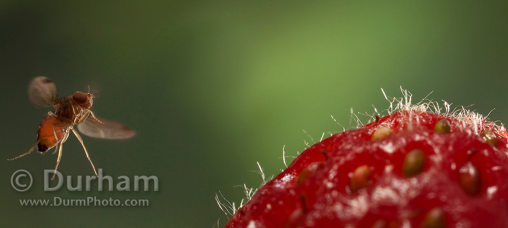 A male spotted wing fruit fly approaches a fresh strawberry. An introduced pest species in North America, the spotted wing fruit fly (Drosophila suzukii) feeds and breeds on fresh berries such as rasberries, strawberries and cherries – unlike most fruit flies that infest decaying and rotting fruit. Drosophila suzukii however is a substantial pest for berry farmers. © Michael Durham / www.DurmPhoto.com
