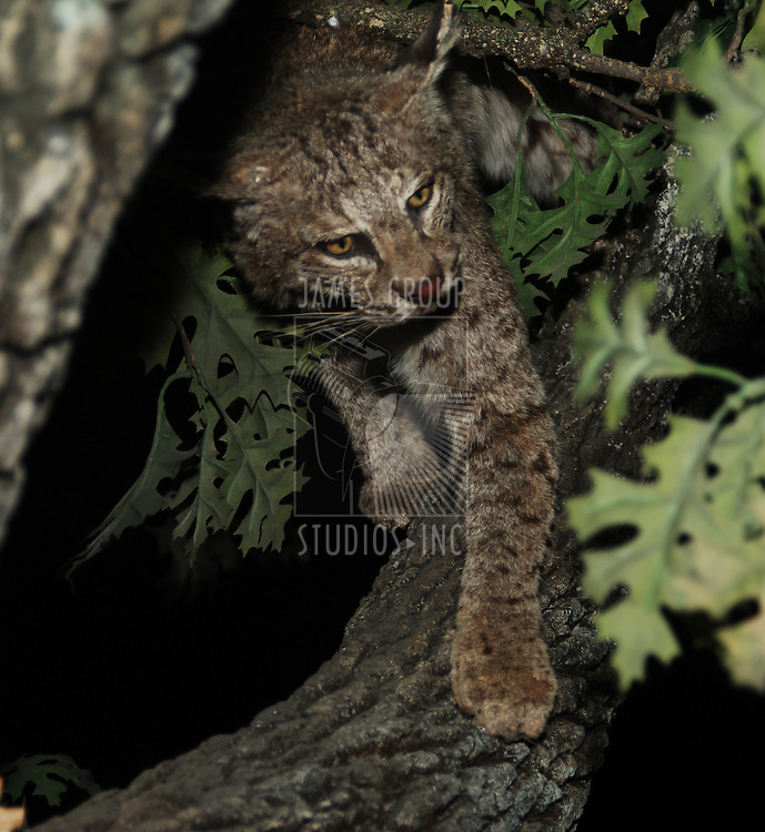 bobcat in a tree at night