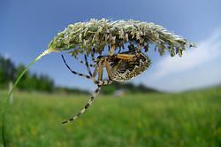 The oak spider (Aculepeira ceropegia) | Die Eichblatt-Radspinne oder Eichblatt-Kreuzspinne (Aculepeira ceropegia, ex Araneus c.)
