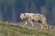 The Canyon Pack alpha female travels back to her den after feasting on an elk kill. This beautiful wolf bares a distinctive near-white coat, like her late mother the alpha female of the now defunct Hayden Pack.