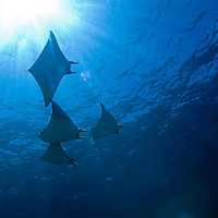 Sqaudron of Mobula Rays and Sunburst