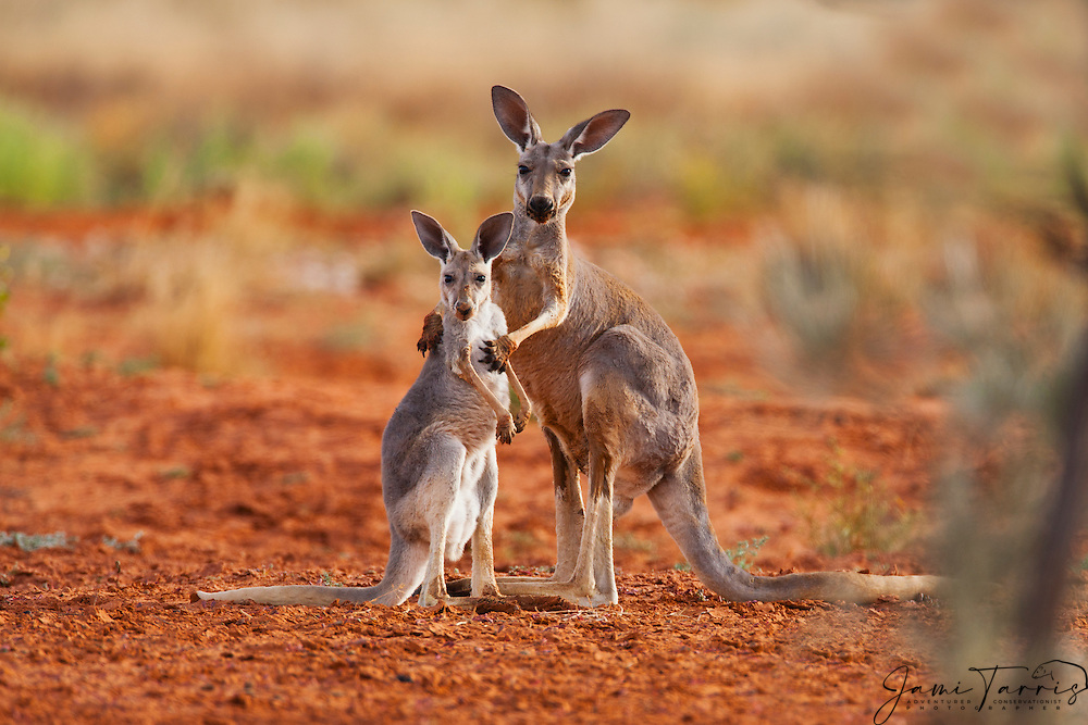 Fact Sheet  Red Kangaroo