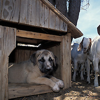 "Anatolian Puppy in Kennel. Namibia..Puppy in kennel. Puppies bond to their ""charge' between 8 to 16 weeks of age. CCF places puppies with the livestock they will grow to protect between that age period. When they are very young, though, they need their own safe place to escape in the stock yard so as not to be hurt by older protective livestock stock. Between 3 to 6 months of age the puppies often become playful with young stock and need corrective guidance. ."