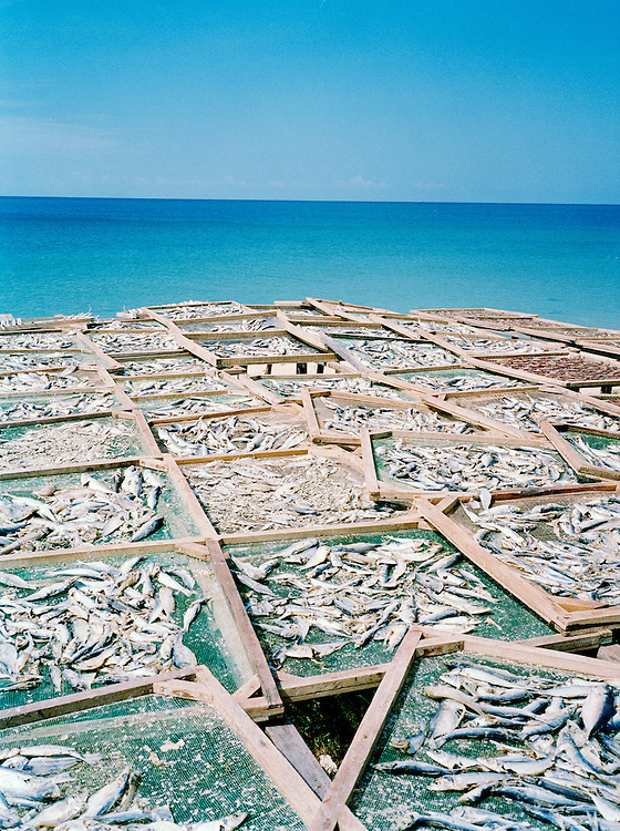 Anchovies drying in the sun.