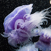 "The crown jelly (scientific name Cephea cephea, Spanish: Medusa coronada) lives in Indo-Pacific oceans and has a purple bell above lacy mouth-arms. Exhibited at Monterey Bay Aquarium, California, USA. Although commonly named ""jellyfish,"" jellies are plankton, not fish. Jellies (class Scyphozoa) lack the backbone (vertebral column) found in fish. Jellyfish have roamed the seas for at least 500 million years, making them the oldest multi-organ animal. The Monterey Bay Aquarium (MBA) was founded in 1984 on the site of a former sardine cannery on Cannery Row along the Pacific Ocean shoreline. Fresh ocean water is circulated continuously from Monterey Bay, filtered for visibility during the day and unfiltered at night to bring in food. Monterey was the capital of Alta California from 1777 to 1846 under both Spain and Mexico. In 1846 the US flag was raised over the Customs House, and California was claimed for the United States."