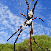 A large spider lurks in a web near Perth in Western Australia. Spiders have eight legs and are not insects. Spiders (order Araneae, class Arachnida) are air-breathing arthropods that have chelicerae, grasping mouthparts with fangs that inject venom. Unlike spiders, insects have six legs and a pair of antennae.