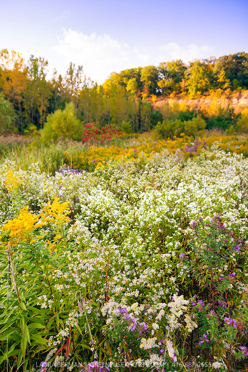 Fall wildflower meadow of Goldenrod and purple and white Asters.