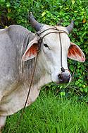 Head shot of an ox near Las Tres Palmas, Pinar del Rio Province, Cuba.