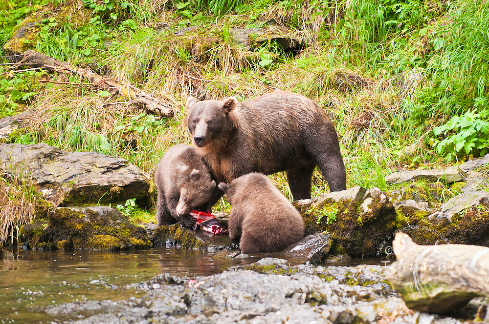 Grizzly Bear mother & cubs eating salmon, Russian River, Alaska