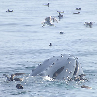 Humpback Whale and gulls