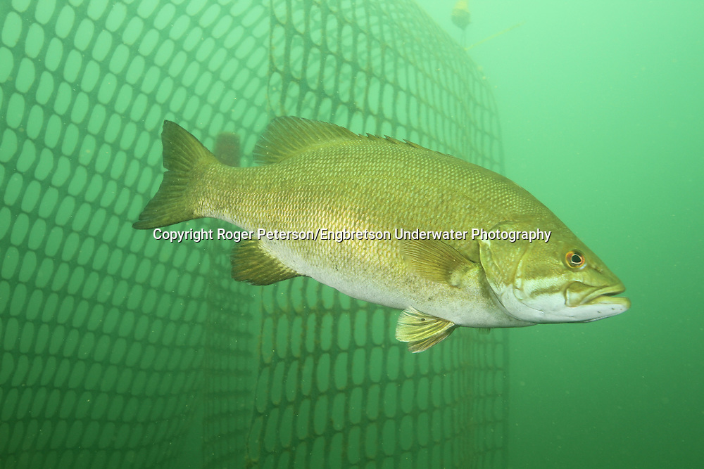 Smallmouth Bass<br /> <br /> Roger Peterson/ENGBRETSON UNDERWATER PHOTO