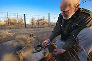 Lion darted for relocation to Malawi (Panthera leo) &amp; Dr Anthony Hall-Martin<br /> Pilansberg Game Reserve<br /> North West Province<br /> SOUTH AFRICA