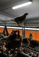 13/05/14 - ALLIER - FRANCE - Elevage de poules pondeuses en production bio pour la societe Matines - Photo Jerome CHABANNE