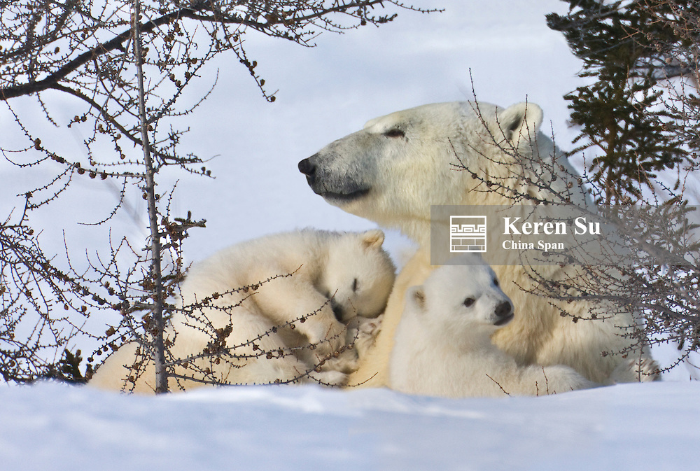 Mother polar bear with two cubs on the tundra, Wapusk National Park, Manitoba, Canada