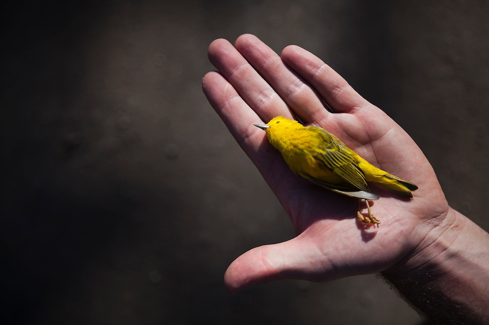 Nathan Rice holds a dead male yellow warbler (Setophaga petechia) in his hand. The bird was found dead on the side of a road near Crested Butte, Colorado.