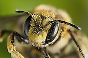 Native bee portrait photographed in late Spring. Western Oregon.