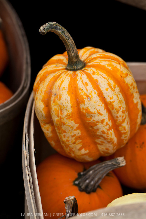 Sweet Lightning  squash has a creamy-orange and heavily grooved hard shell with darker orange in the creases a d a curved stem