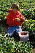 9-year old boy picking strawberries at U-pick farm in Alvadore, Willamette Valley, Oregon.