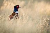 Common Pheasant Pictures - Photos
