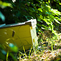 8/9/11 - Springfield, MO: The recently instituted bee hive has been a huge asset to the farm in their first year. Pollination just wasn't happening at the level needed for the farm's production; now the bees' work frees up time for other jobs.