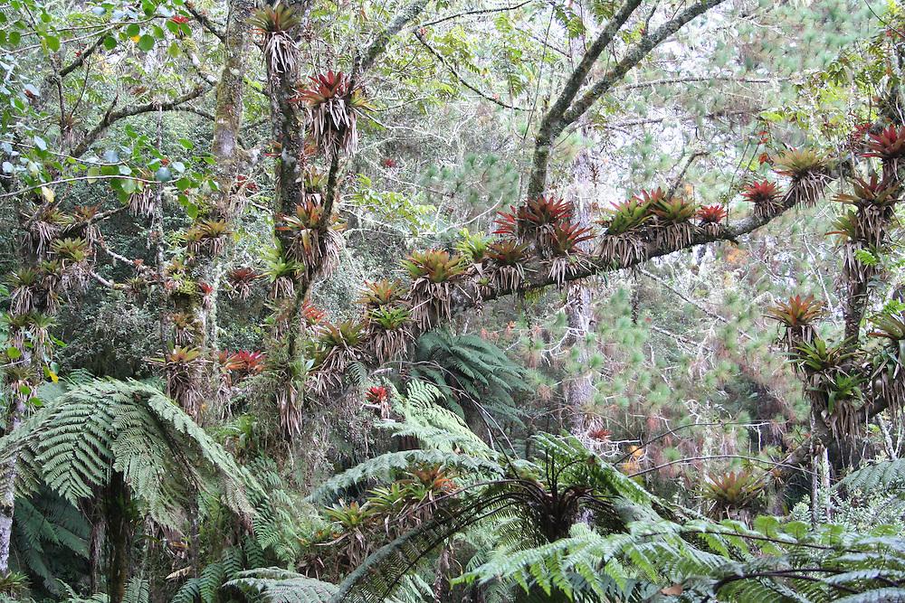 Bromeliads drip from broadleaf forest in Pic Macaya National Park, Massif de la Hotte, southwest Haiti.