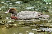 Blue Duck Photos - Pictures