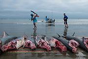 Sharks on Beach<br /> Tarqui<br /> Manta<br /> Manabi Province<br /> Ecuador<br /> South America