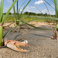 Crab Claw and Spartina Grass, Jeremy Island, Intracoastal Waterway, McClellanville, SC