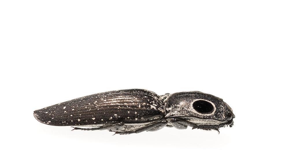Eastern Eyed Click Beetle (Alaus oculatus)