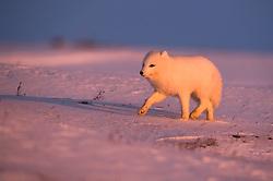 Arctic fox (Alopex lagopus) in winter, Svalbard, Norway