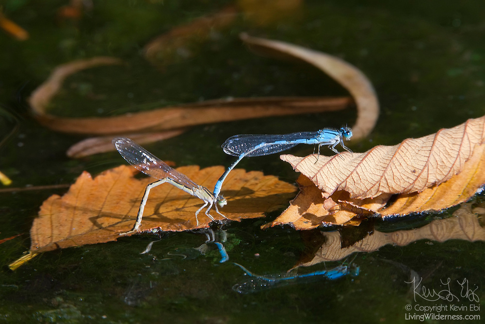 "A mating pair of familiar bluet damselflies (Enallagma civile) lay eggs in the Ronald Bog in Shoreline, Washington. The male, above, holds the female by the ""neck"" while she deposits her eggs beneath the surface of the water."