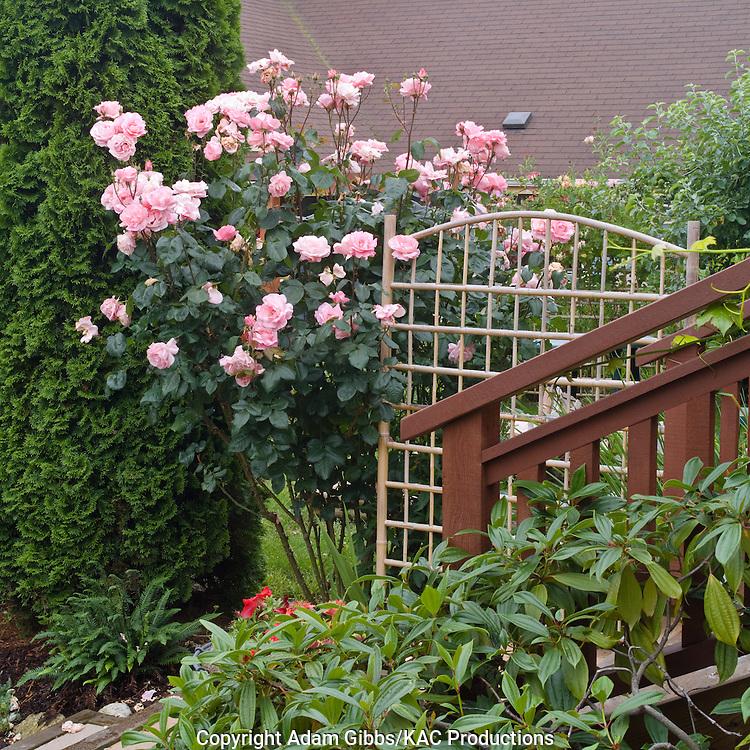 trellis and rose shrub