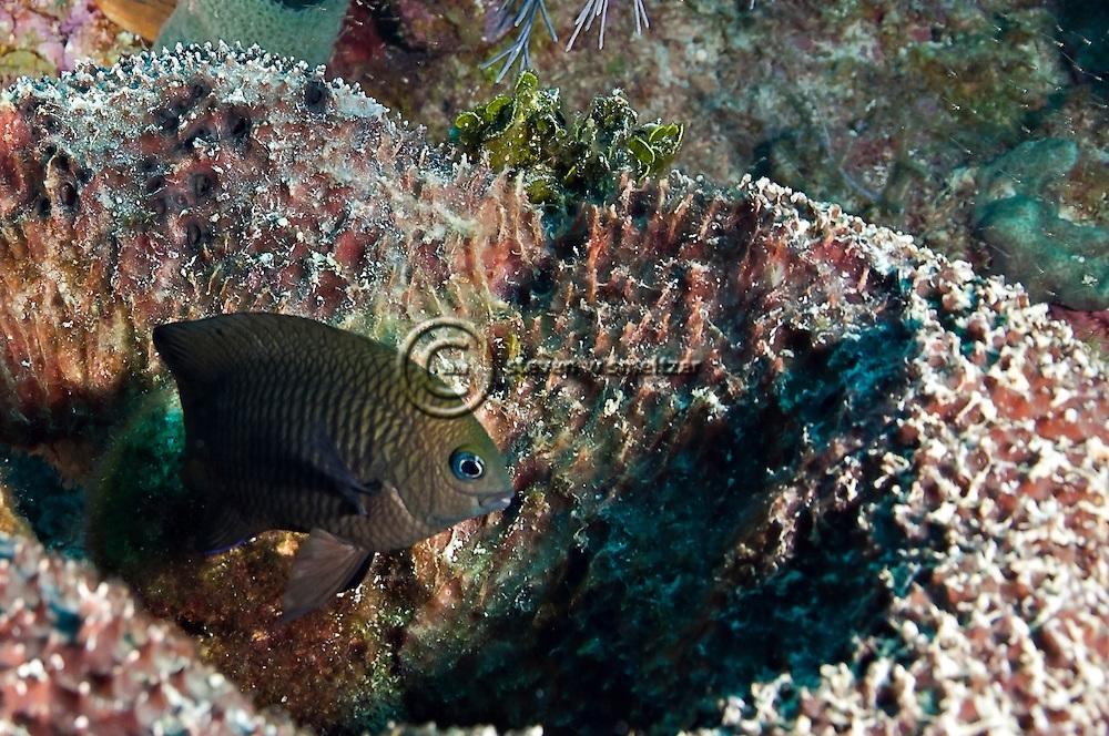 Longfin Damselfish, Stegastes diencaeus, Grand Cayman