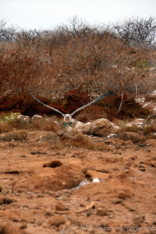 South America, Ecuador, Galapagos Islands. Blue-footed Booby in flight.