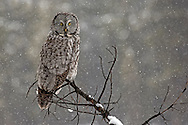 An exceptional hunter, the great grey owl uses his keen sense of hearing to detect rodents burrowing under the snow. Once prey is located, the owl will quickly swoop down after it, even during the worst of snowstorms.