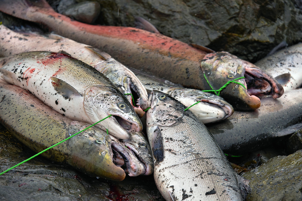 Wild coho and sockeye salmon on stringer in seward alaska for Salmon fishing anchorage