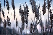 reeds at the beach at dusk