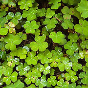 Clover Leaves, California